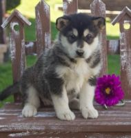Alaskan Malamute Puppies for sale in New York County, New York, NY, USA. price: NA