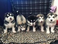 Alaskan Malamute Puppies for sale in Tucson, AZ, USA. price: NA