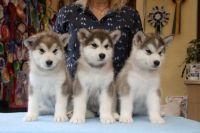 Alaskan Malamute Puppies for sale in Califa St, Los Angeles, CA 91601, USA. price: NA