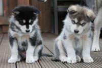 Alaskan Malamute Puppies for sale in Clifton, NJ 07014, USA. price: NA