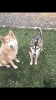 Alaskan Malamute Puppies for sale in Moses Lake, WA 98837, USA. price: NA