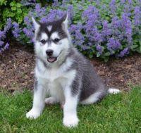 Alaskan Malamute Puppies for sale in Alexander City, AL, USA. price: NA