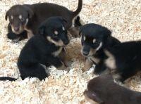 Alaskan Malamute Puppies for sale in Central Islip, NY, USA. price: NA