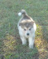 Alaskan Malamute Puppies for sale in Shelbyville, TN, USA. price: NA