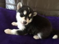 Alaskan Malamute Puppies for sale in New York County, NY, USA. price: NA