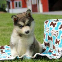 Alaskan Malamute Puppies for sale in Black River Falls, WI 54615, USA. price: NA