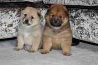 Alaskan Malamute Puppies for sale in New Orleans, LA, USA. price: NA