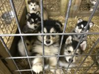 Alaskan Malamute Puppies for sale in Blanchester, OH 45107, USA. price: NA