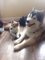 Alaskan Malamute Puppies for sale in Central Ave, Jersey City, NJ, USA. price: NA