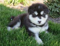 Alaskan Malamute Puppies for sale in Lansing, MI, USA. price: NA