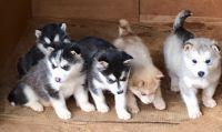 Alaskan Malamute Puppies for sale in Moore, SC 29369, USA. price: NA