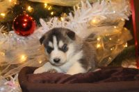 Alaskan Malamute Puppies for sale in Scottsville, KY 42164, USA. price: NA