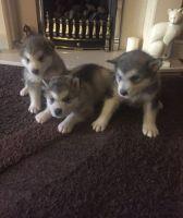 Alaskan Malamute Puppies for sale in I-35, Austin, TX, USA. price: NA