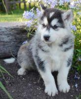 Alaskan Malamute Puppies for sale in Scottsdale, AZ, USA. price: NA