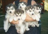 Alaskan Malamute Puppies for sale in San Antonio, TX, USA. price: NA