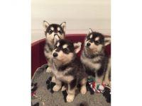Alaskan Malamute Puppies for sale in TX-121, McKinney, TX, USA. price: NA