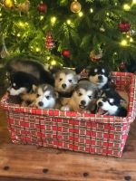 Alaskan Malamute Puppies for sale in Los Andes St, Lake Forest, CA 92630, USA. price: NA