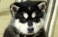 Alaskan Malamute Puppies for sale in East Lansing, MI 48823, USA. price: NA