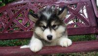 Alaskan Malamute Puppies for sale in Peoria, IL 61612, USA. price: NA