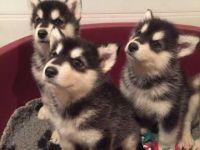 Alaskan Malamute Puppies for sale in Austin, TX, USA. price: NA