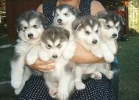 Alaskan Malamute Puppies for sale in Charleston, WV, USA. price: NA
