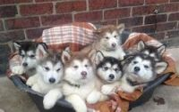 Alaskan Malamute Puppies for sale in Boston, MA, USA. price: NA