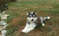 Alaskan Malamute Puppies for sale in Springfield, MA 01101, USA. price: NA