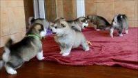 Alaskan Malamute Puppies for sale in Chicago, IL, USA. price: NA