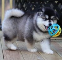 Alaskan Malamute Puppies for sale in St. Louis, MO, USA. price: NA