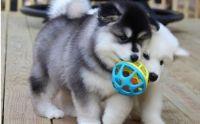 Alaskan Malamute Puppies for sale in Denver, CO, USA. price: NA