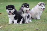 Alaskan Malamute Puppies for sale in Houston, TX, USA. price: NA