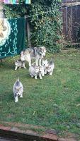 Alaskan Malamute Puppies for sale in Wisconsin Dells, WI, USA. price: NA