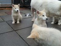 Alaskan Malamute Puppies for sale in TX-249, Houston, TX, USA. price: NA
