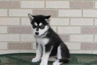 Alaskan Malamute Puppies for sale in Cincinnati, OH, USA. price: NA