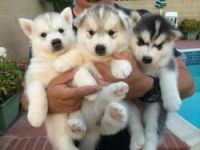 Alaskan Malamute Puppies for sale in Manchester, NH, USA. price: NA