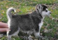 Alaskan Malamute Puppies for sale in Grand Rapids, MI, USA. price: NA