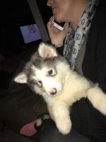 Alaskan Malamute Puppies for sale in San Antonio, TX 78205, USA. price: NA