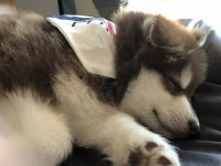Alaskan Malamute Puppies for sale in Southport, NC 28461, USA. price: NA