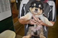 Alaskan Malamute Puppies for sale in Ada, OK, USA. price: NA