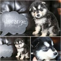 Alaskan Malamute Puppies for sale in Mansfield, OH 44903, USA. price: NA