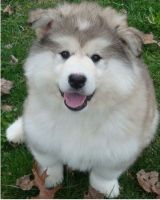 Alaskan Malamute Puppies for sale in Columbus, OH, USA. price: NA