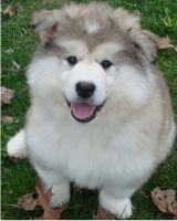 Alaskan Malamute Puppies for sale in Portland, OR, USA. price: NA