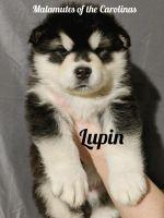 Alaskan Malamute Puppies for sale in Lincolnton, NC 28092, USA. price: NA