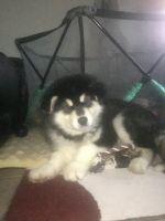 Alaskan Malamute Puppies for sale in El Paso, TX, USA. price: NA
