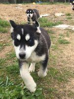 Alaskan Malamute Puppies for sale in Mohawk, TN 37810, USA. price: NA