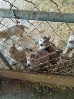Alaskan Malamute Puppies for sale in Gainesville, GA, USA. price: NA