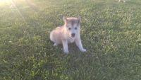 Alaskan Malamute Puppies for sale in Nevada, MO 64772, USA. price: NA