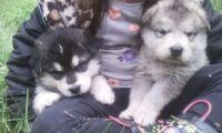 Alaskan Malamute Puppies for sale in Copper Center, AK, USA. price: NA