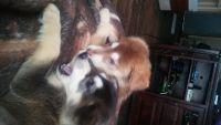 Alaskan Malamute Puppies for sale in Goreville, IL 62939, USA. price: NA