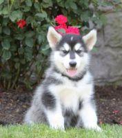 Alaskan Malamute Puppies for sale in Utah County, UT, USA. price: NA